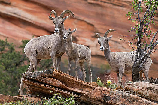 Zion Big Horn Sheep by Jerry Fornarotto