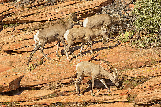Zion Big Horn Sheep by Peter J Sucy