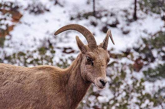 Zion Bighorn Sheep close-up by Gaelyn Olmsted