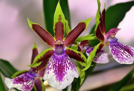 Zygolum Louisendorf - Rhine Clown Orchid  005 by George Bostian