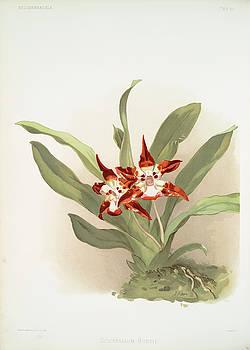 Ricky Barnard - Zygopetalum Burtii