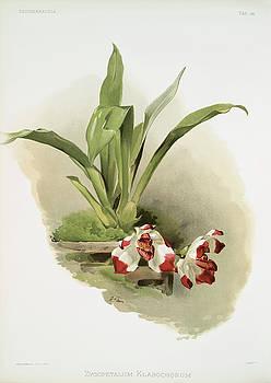 Ricky Barnard - Zygopetalum Klabochorum