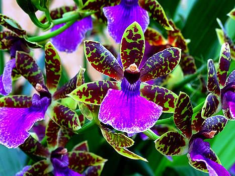 Zygopetalum Orchid by Ed Berlyn