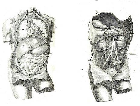 2 Views of the human torso, muscles and internal organs  by Steve Estvanik