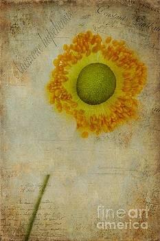 Anemone hupehensis by John Edwards