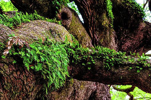 Louis Dallara - Angel Oak Tree Branches