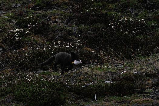 Arctic Fox with Bird by Kai Mueller