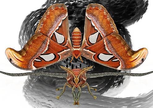 Atlas Moth7 by Joan Stratton