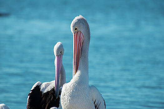 Australian Pelicans by Rob D Imagery