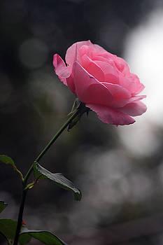 Vadim Levin - Late Autumn Rose