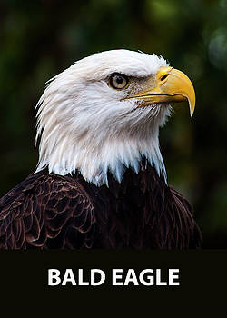 Bald Eagle Portrait by Norman Johnson