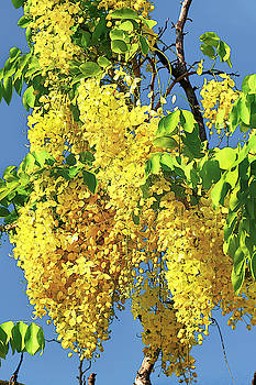 Barbados Golden Shower by Jackson Ball