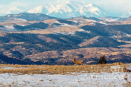 Beautiful Buck Mule Deer and the Sangre by Steve Krull