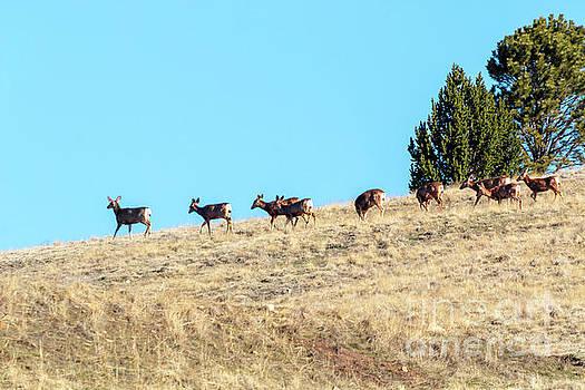 Steve Krull - Beautiful Herd of Mule Deer