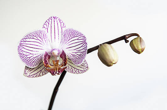 Beautiful orchid, Phalaenopsis, flower by Michalakis Ppalis
