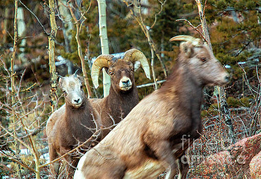 Bighorns in the Morning by Steve Krull
