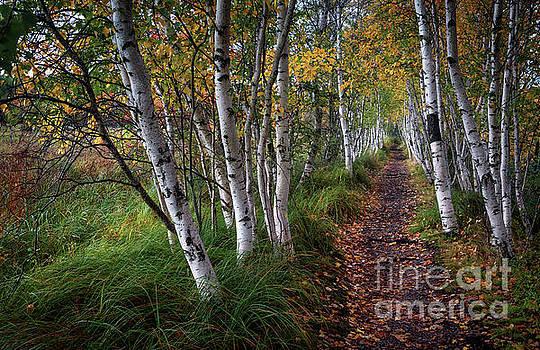 Birches by Scott Thorp