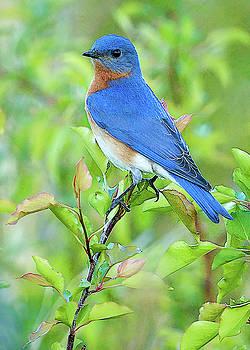 Bluebird Joy by William Jobes