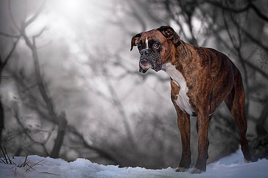 Boxer dog explore the winter forest by Tamas Szarka