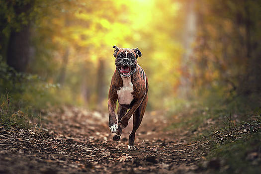 Boxer dog running in the forest by Tamas Szarka
