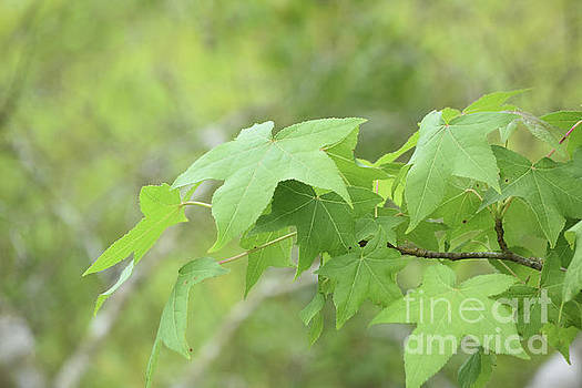Branch with a Collection of Green Maple Leaves in Spring by DejaVu Designs