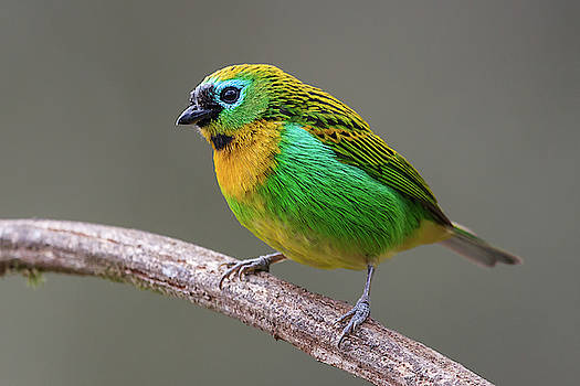 Brassy-breasted Tanager by Jean-Luc Baron