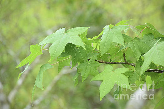 Brilliant Green Maple Leaves on a Tree Branch by DejaVu Designs