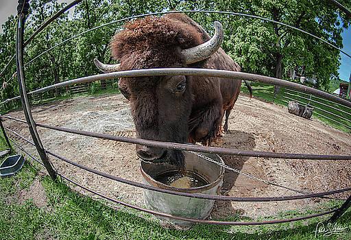 Buffalo Cody by Phil S Addis