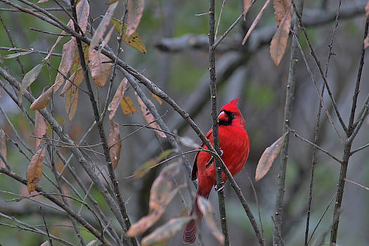 Cardinal on Watch 2 by Brad Chambers