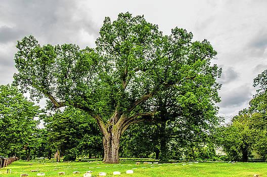 Louis Dallara - Centennial Oak, Salem Oak Tree