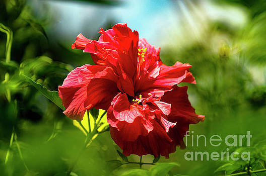 Chinese Hibiscus by Morris Keyonzo