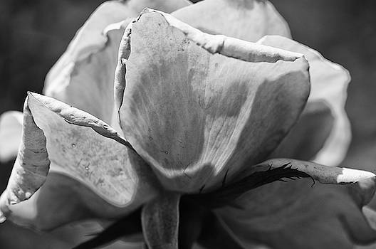 Close-up Of A Rose, Los Angeles County by Panoramic Images