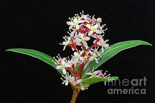 flowers shrub Japanese Skimmia japonica by Robert C Paulson Jr