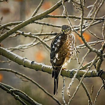 Cooper's Hawk by John Bartelt