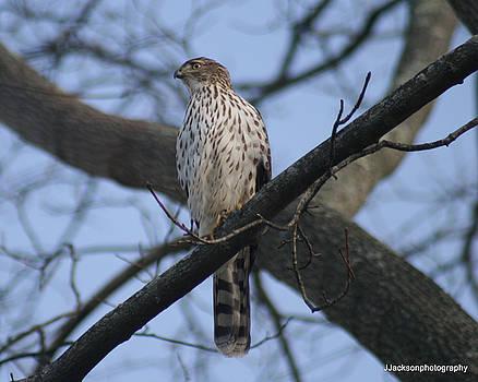 Cooper's Hawk by Jonathan Jackson Coe