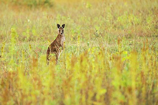 Cute Australian Kangaroo by Rob D Imagery