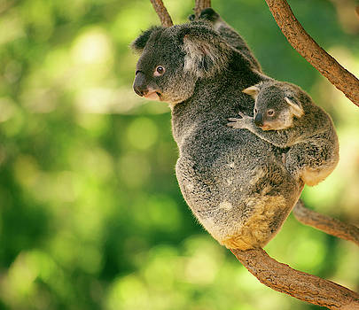 Cute Australian mother Koala with her joey. by Rob D Imagery