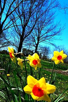Daffodils by Vijay Sharon Govender