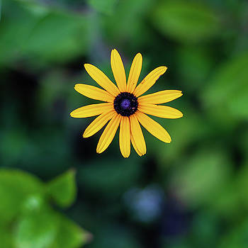 Black-eyed Susan by John Daly