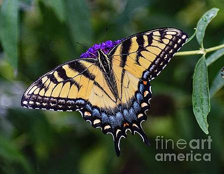 Dashing Eastern Tiger Swallowtail by Cindy Treger