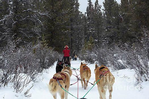 Dog sledding near Whitehorse Yukon Canada by Louise Heusinkveld