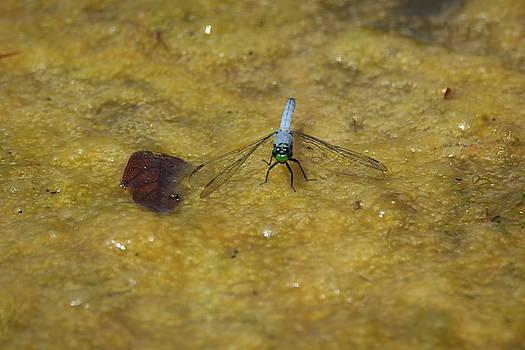 Dragon Fly or Darter? by Gerald Salamone