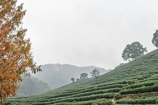 Dragon Wall Tea Plantation by Nick Mares