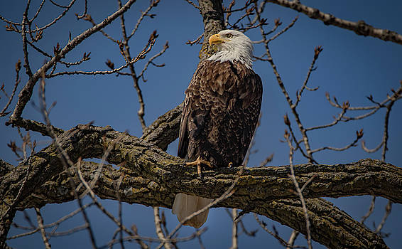 Eagle Watching by Ray Congrove