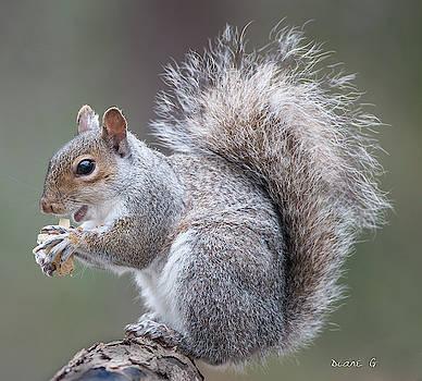 Eastern grey Squirrel by Diane Giurco