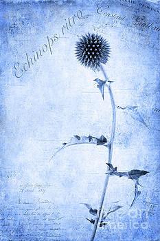 Echinops ritro by John Edwards