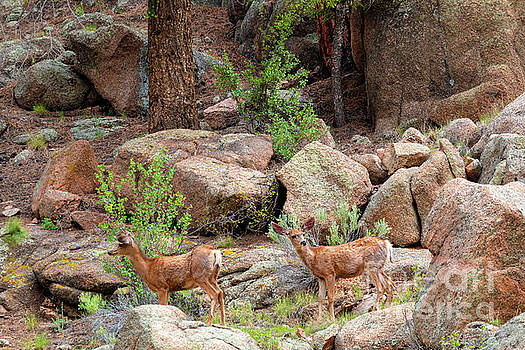 Steve Krull - Eleven Mile Canyon Deer