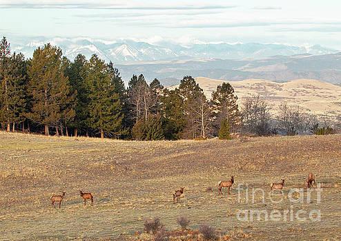 Elk Herd by Steve Krull