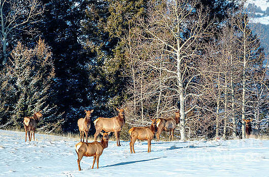 Steve Krull - Elk in Fresh Snow