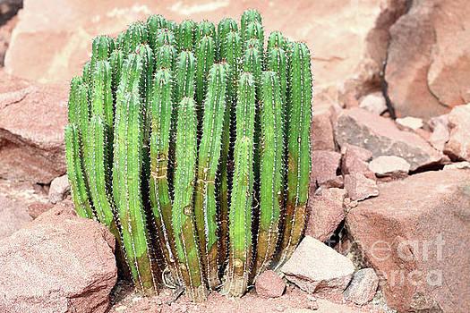 Euphorbia resinifera - Resin spurge by Michal Boubin